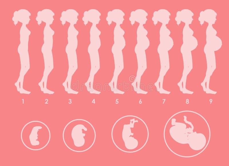 Un vector de la progresión embarazada stock de ilustración