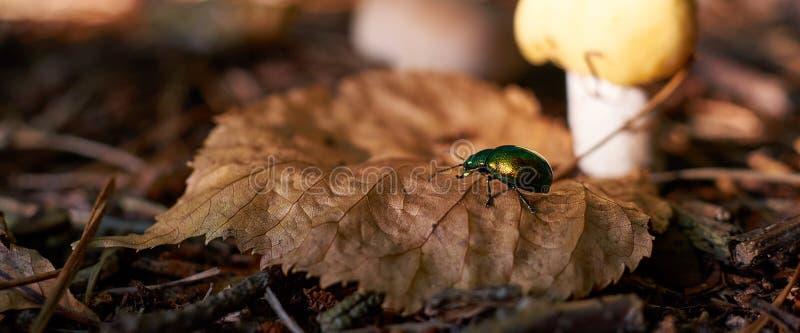 Un verde, escarabajo brillante va en una hoja del otoño en el medio del bosque imagen de archivo libre de regalías