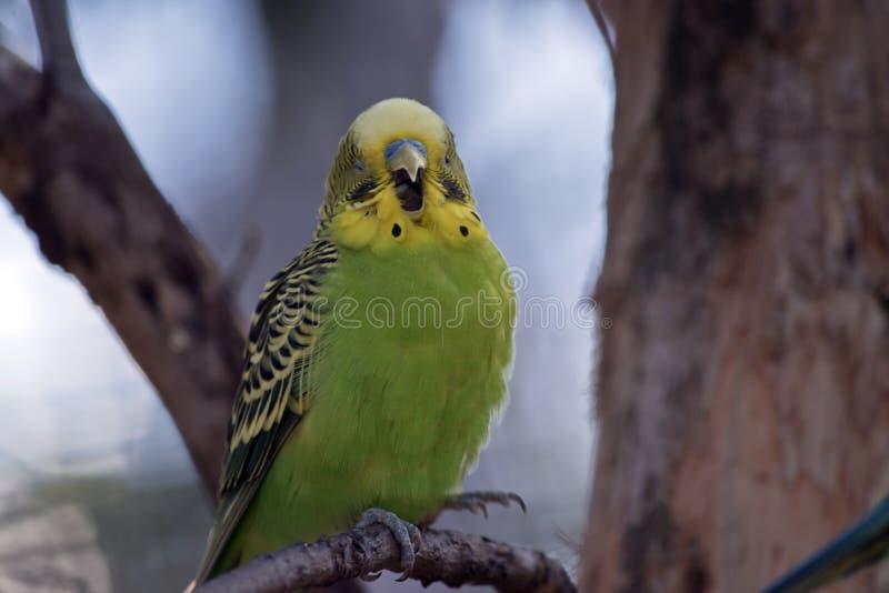 Un verde y un canto amarillo del periquito o del periquito foto de archivo