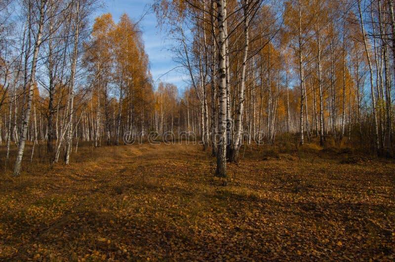 Un verger de bouleau dans les rayons du soleil d'automne photos stock