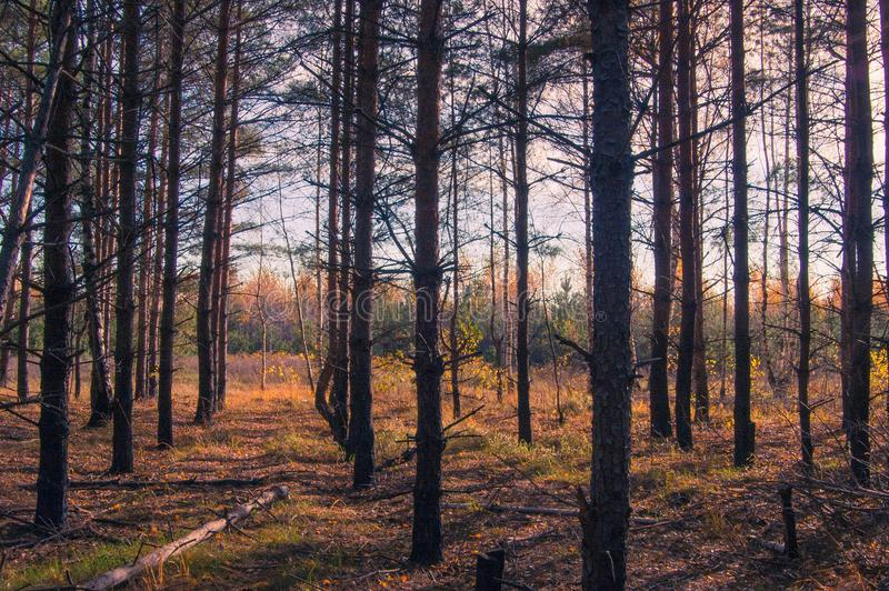 Un verger de bouleau en automne photos stock