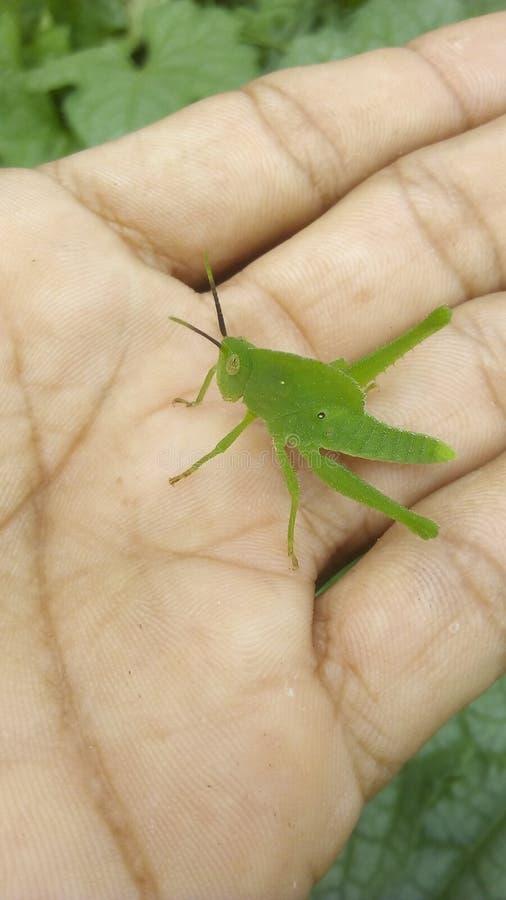 Un vert de sauterelle image libre de droits