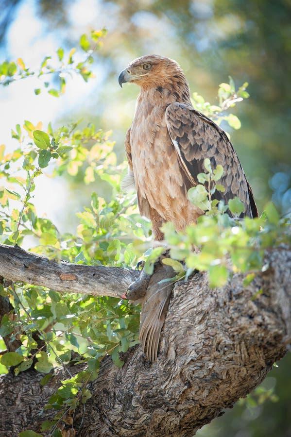 Un vertical, integral, fotografía de un águila rojiza, Aqu del color imagen de archivo