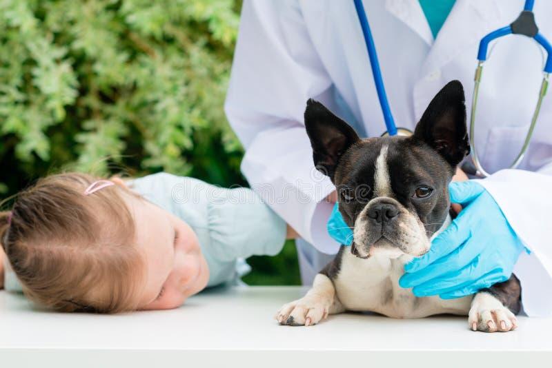Un veterinario que examina un pequeño perro de Boston Terrier imagen de archivo