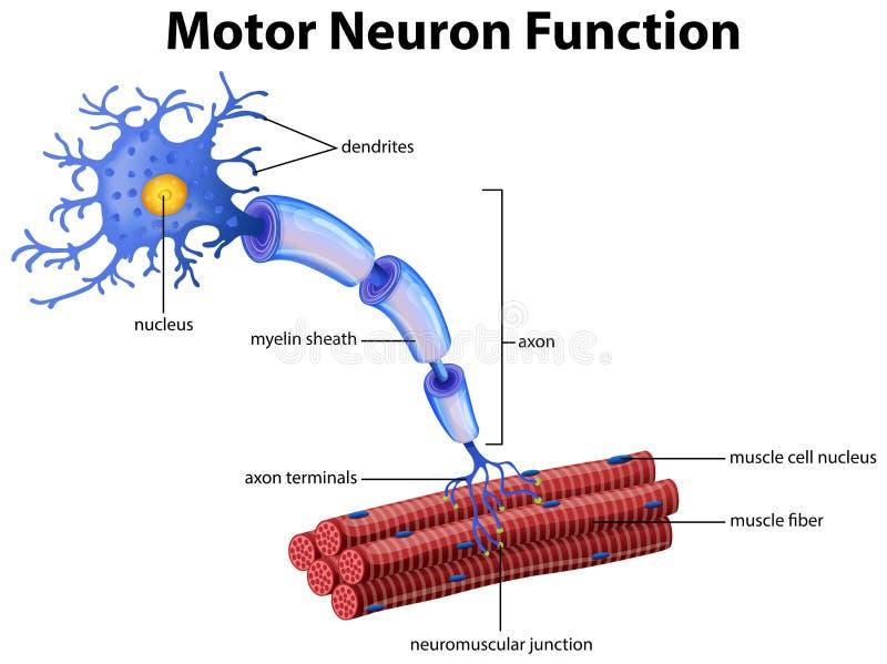 Un vettore della funzione del motoneurone illustrazione vettoriale