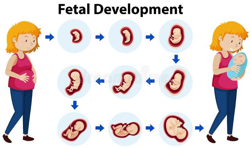 Un vettore di sviluppo fetale illustrazione vettoriale