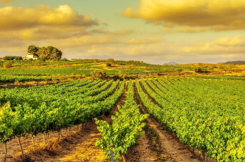 Un viñedo en un país mediterráneo en la puesta del sol foto de archivo libre de regalías