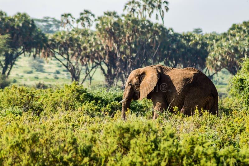 Un vieil éléphant dans la savane images libres de droits