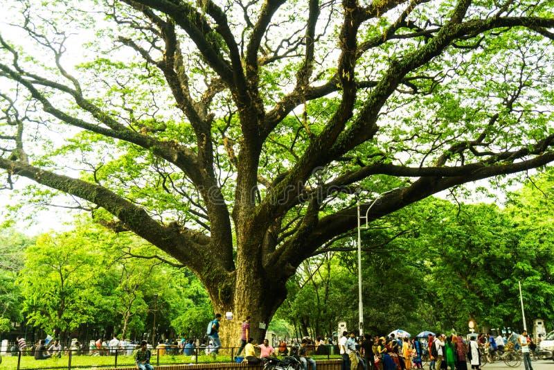Un vieil arbre, Bangladesh images stock