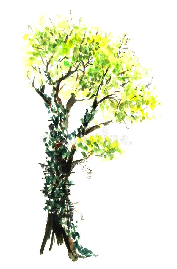 Un vieil arbre couvert de lierre de ressort avec un tronc ?pais et des branches tordues Illustration tir?e par la main d'aquarell illustration de vecteur