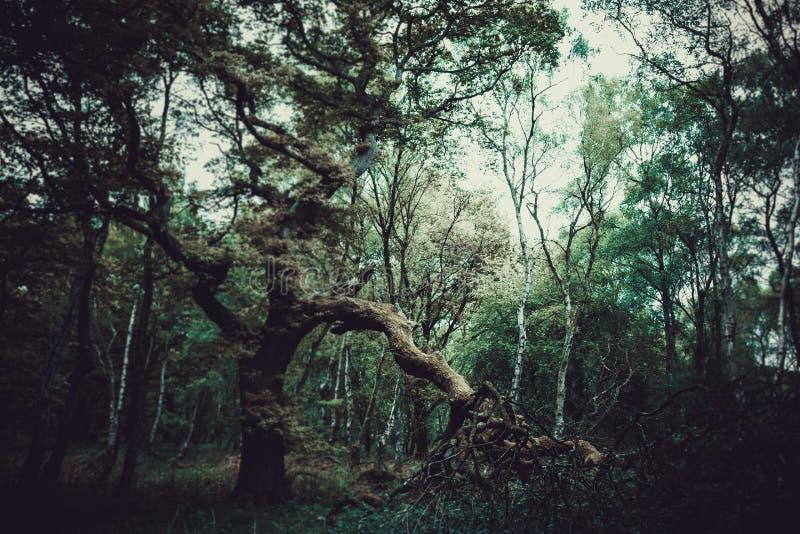 Un vieil arbre de chêne photo libre de droits