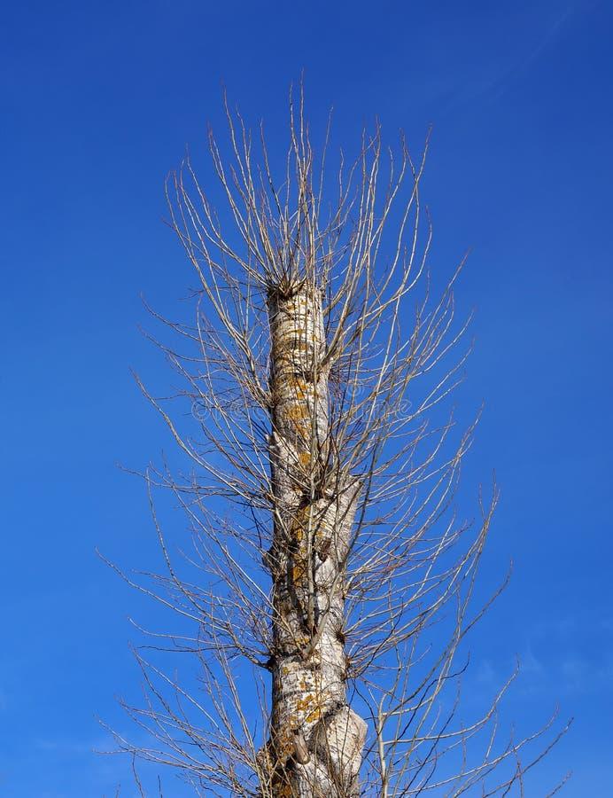 Un vieil arbre de peuplier après que l'élagage total ait produit de nouvelles jeunes branches photographie stock libre de droits