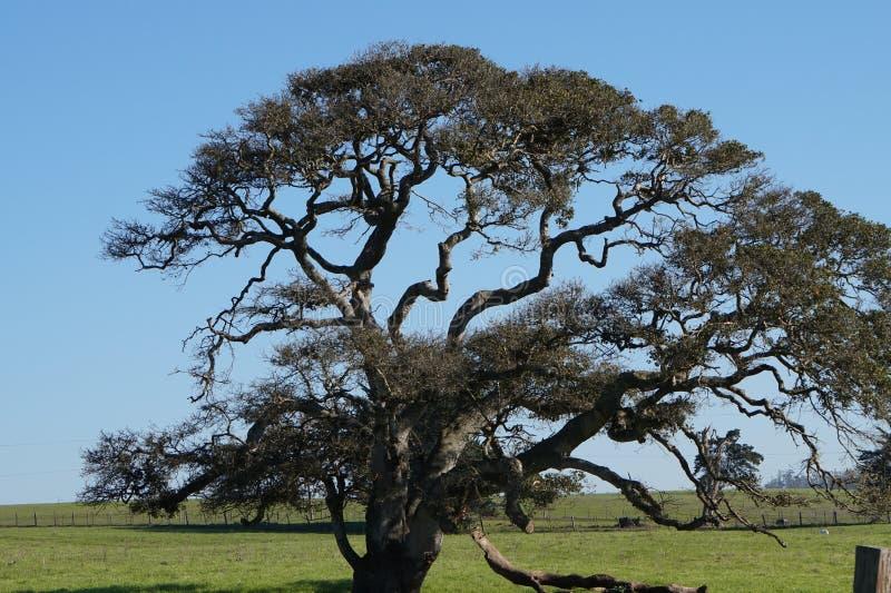 Un vieil arbre sous le ciel bleu photographie stock
