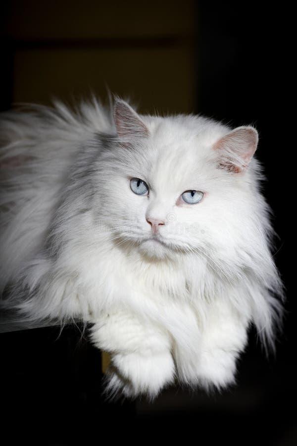 Un vieux chat photographie stock libre de droits