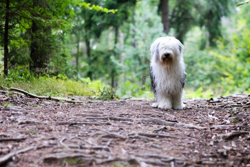 Un vieux chien de berger engish dans le bois image stock