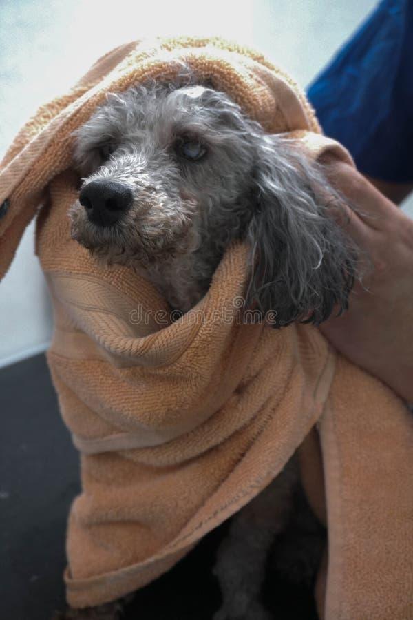 Un vieux chien timide aux groomers image stock