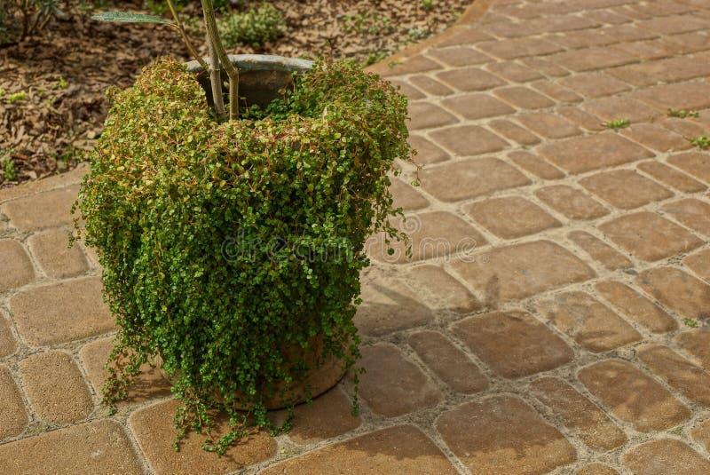 Un vieux pot envahi avec les supports verts de végétation sur un trottoir brun images stock