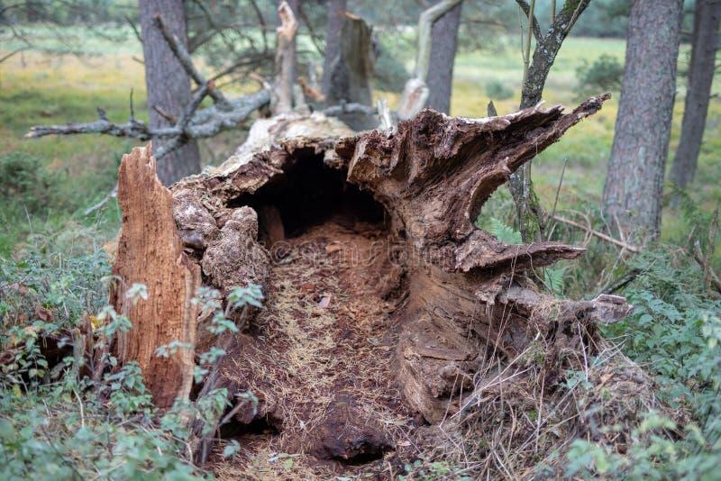 Un vieux tronc sec d'un arbre tombé Un chêne défraîchi se situant dans l'u image libre de droits