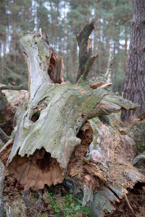Un vieux tronc sec d'un arbre tombé Un chêne défraîchi se situant dans l'u photos stock