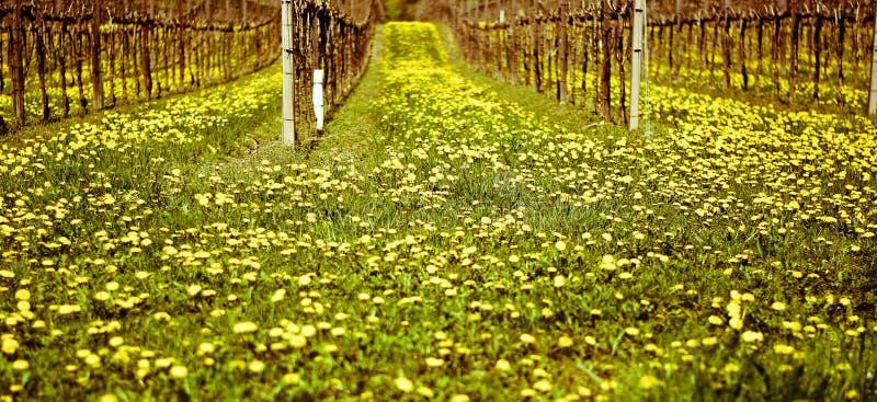 Un vignoble au ressort avec le pré couvert par le pissenlit fleurit photographie stock libre de droits