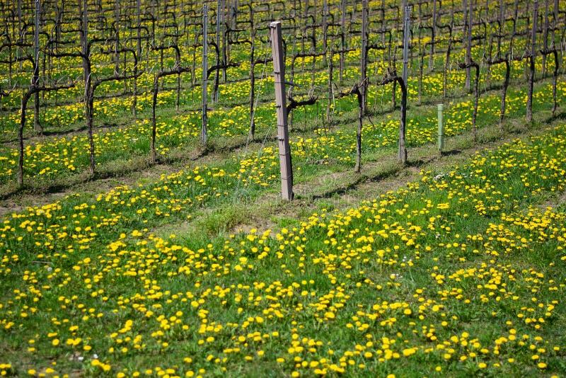 Un vignoble au ressort avec le pré couvert par le pissenlit fleurit photos libres de droits