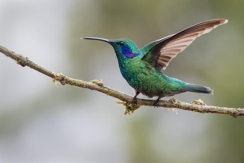 Un violetear verde masculino encaramada fotos de archivo