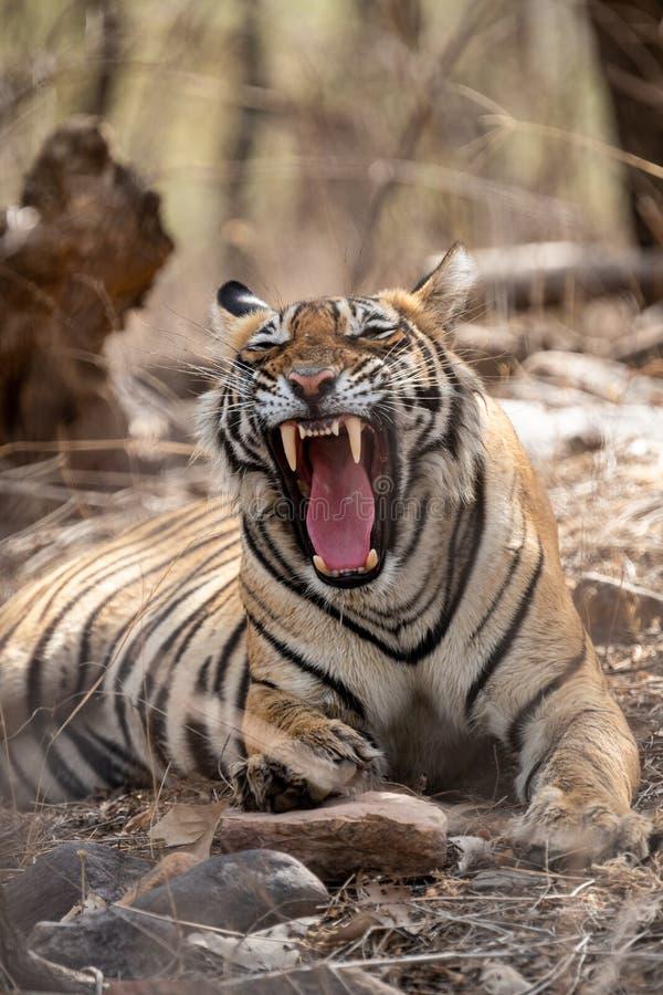 Un visage de tigre en colère avec une bouche à expression ouverte montrant des canines pendant la saison estivale du safari dans  photo libre de droits
