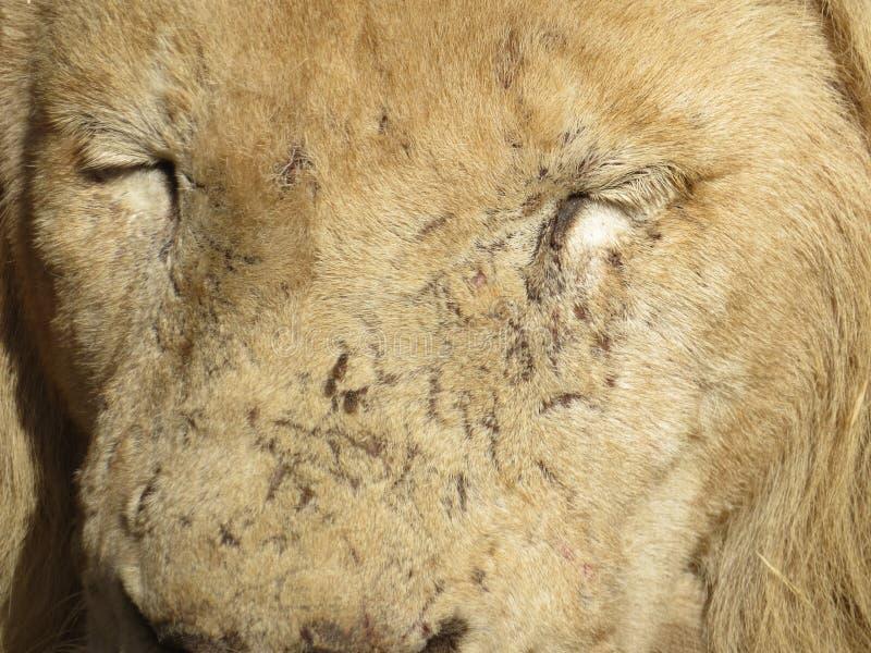 Un visage des lionphotographie stock