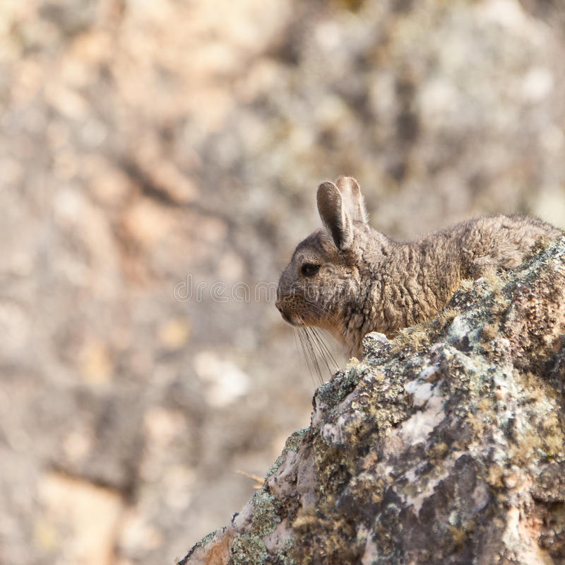Un Viscacha nell'habitat dei it´s immagine stock libera da diritti