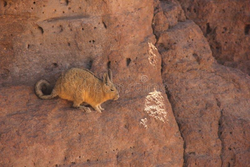 Un Viscacha selvaggio in Bolivia fotografia stock libera da diritti