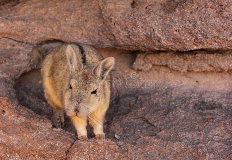 Un Viscacha selvaggio in Bolivia fotografia stock