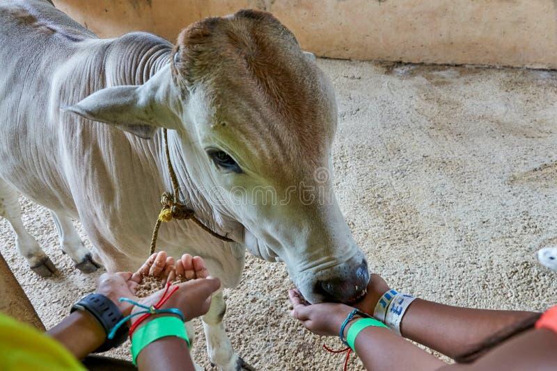 Un vitello che è alimentato da due paia delle mani del ` dei bambini La mucca del bambino sembra godere del pasto Un bambino real fotografia stock libera da diritti