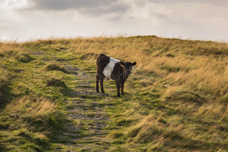 Un vitello curioso a York del nord attracca, il Regno Unito fotografie stock