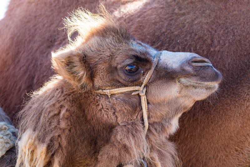 Un vitello del cammello battriano ha fatto una pausa sua madre fotografie stock libere da diritti