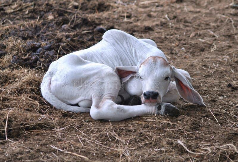 Un vitello neonato adorabile del bramano fotografia stock