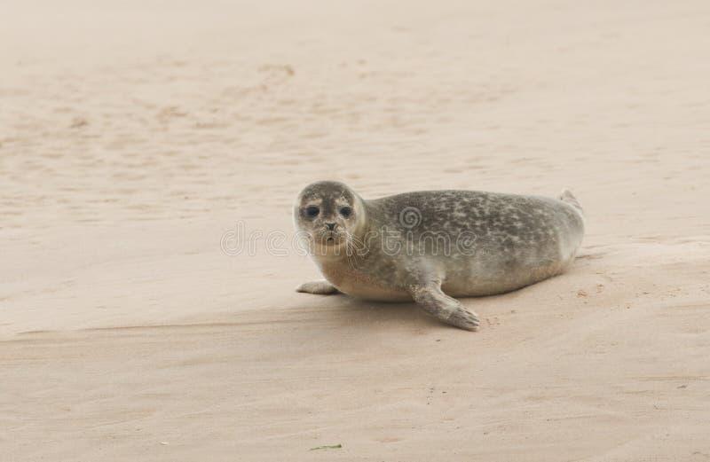 Un vitulina lindo del Phoca del sello común que descansa sobre un banco de arena en Escocia cuando la marea estaba hacia fuera fotografía de archivo