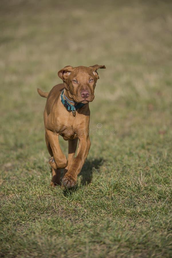 Un vizsla marrone che corre in un parco fotografie stock libere da diritti