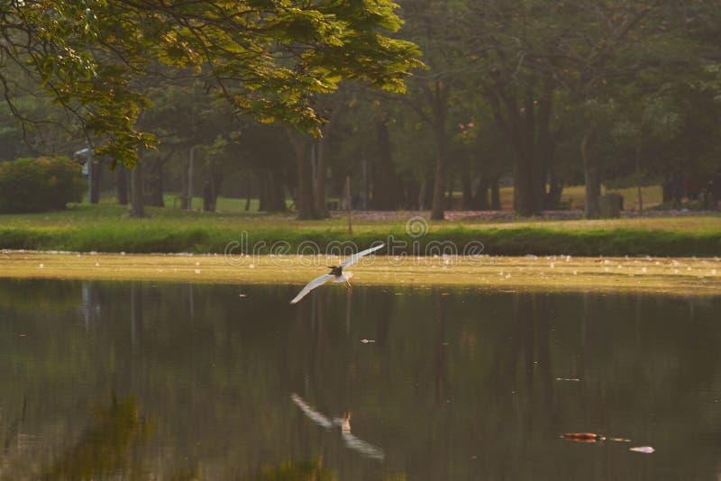 Un vol blanc d'oiseau de héron au-dessus de l'eau photo stock