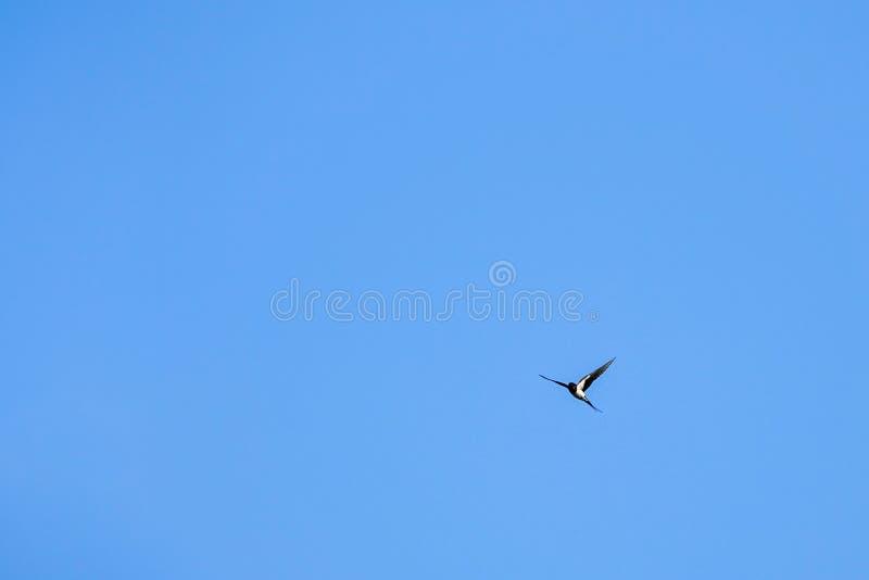 Un vol d'hirondelle avec le ciel bleu à l'arrière-plan images libres de droits