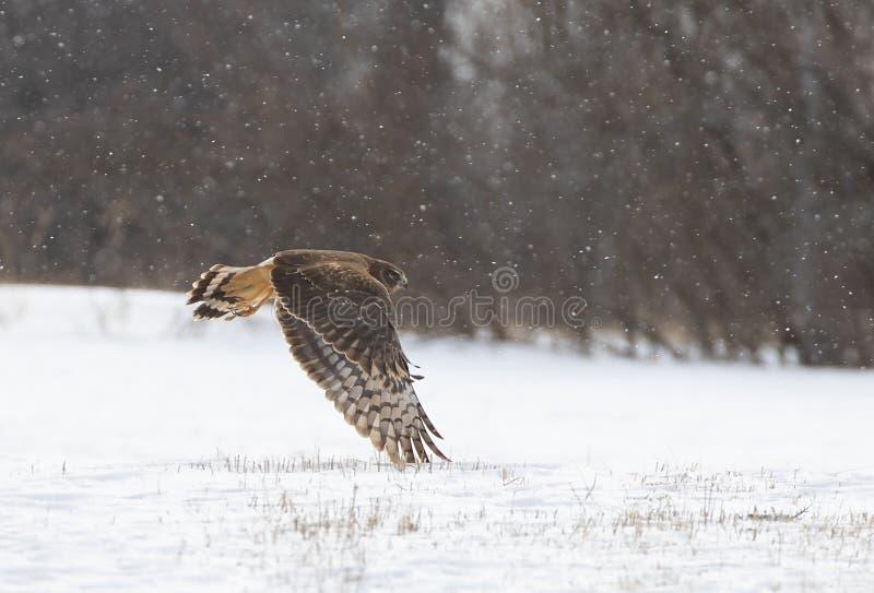 Un vol de cyaneus de cirque de harrier du nord au-dessus d'une neige couverte classée à la recherche de la proie au Canada image libre de droits
