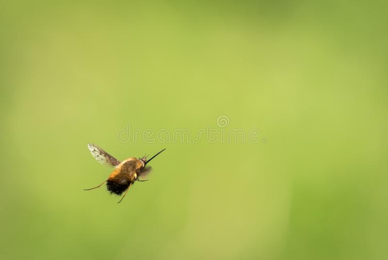 Un vol de mouche d'abeille devant un fond vert trouble photo stock