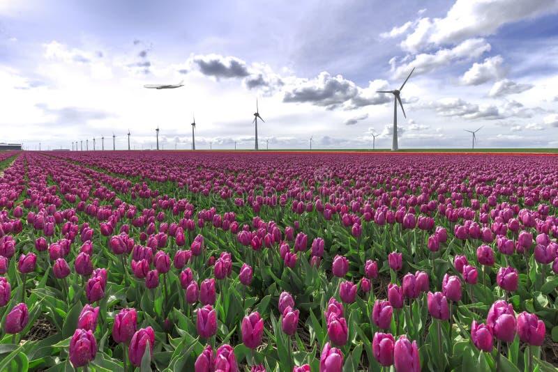 Un vol plat à une ferme rose d'ampoule de tulipe photo libre de droits