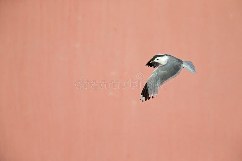 Un volo comune di canus di larus del gabbiano di miagolio o del gabbiano davanti ad una parete rosa concreta nei porti di Brema G fotografia stock libera da diritti