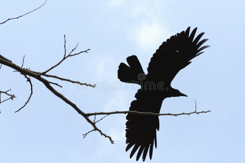 Un volo del corvo da un fondo della nuvola e dell'albero immagini stock