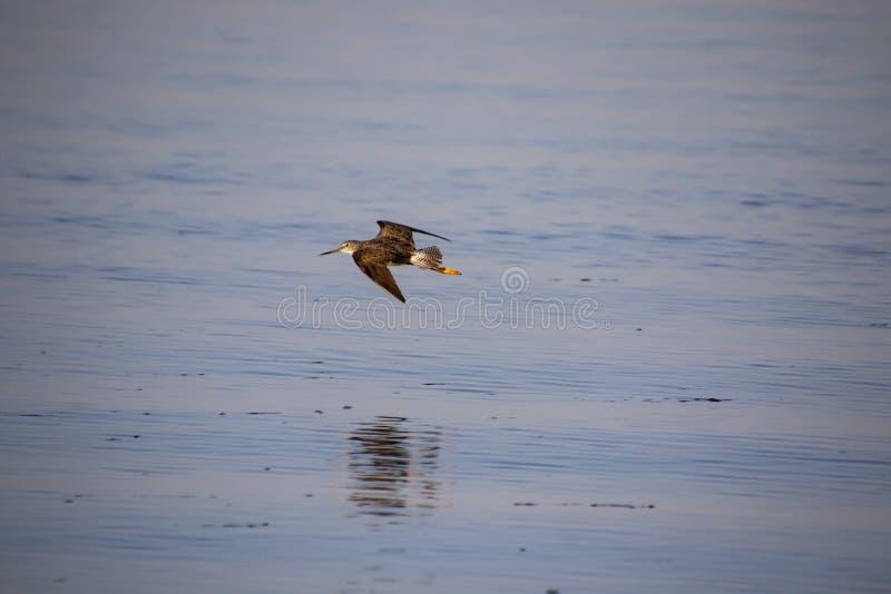Un volo del pifferaio della sabbia fotografia stock libera da diritti