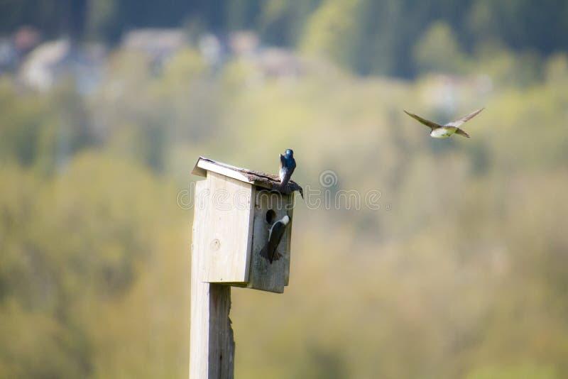 Un volo del sorso di albero intorno ad una casa dell'uccello fotografia stock