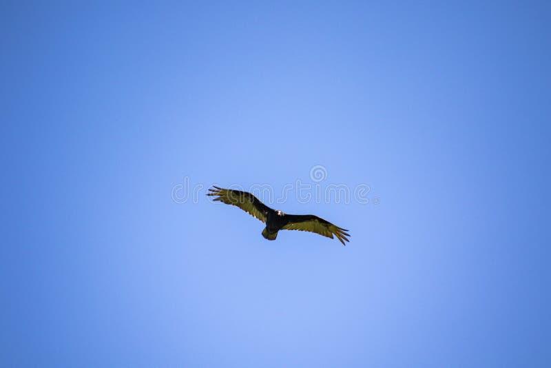 Un volo dell'avvoltoio di tacchino fotografia stock