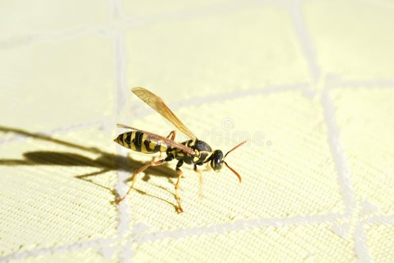 Un volo della vespa nella stanza immagini stock