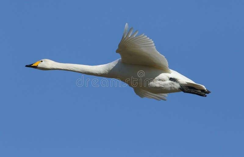 Un volo sbalorditivo del cygnus del Cygnus del cigno selvatico nel cielo blu fotografia stock