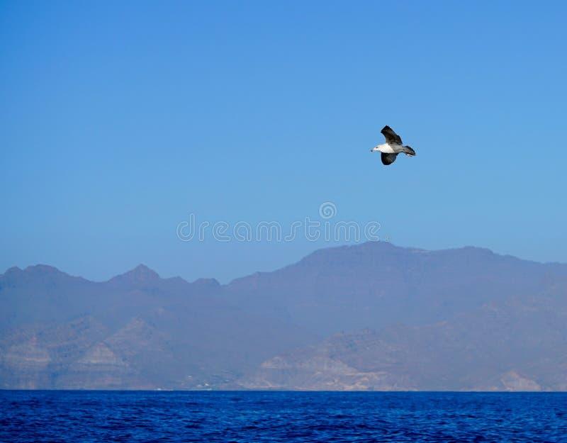 Un vuelo de la gaviota en el cielo azul foto de archivo
